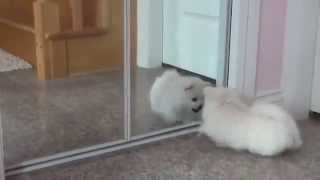 White Pomeranian For Adoption