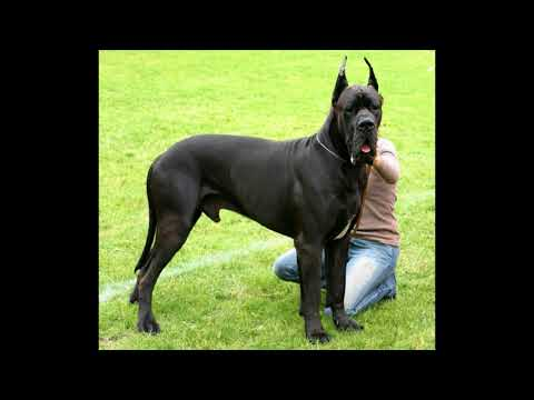 Week End Release- KCI certificate and Great Dane Dog Breed