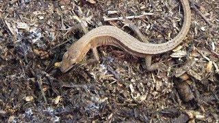 腹ペコのカナヘビが大量の赤ちゃんゴキブリを食べまくる!!