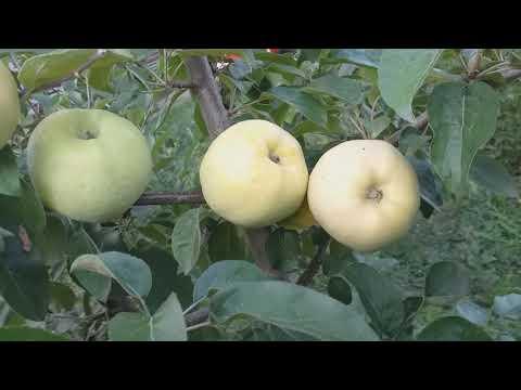 Вопрос: Сохраняют ли всхожесть семена в яблоках сорта Антоновка до декабря?