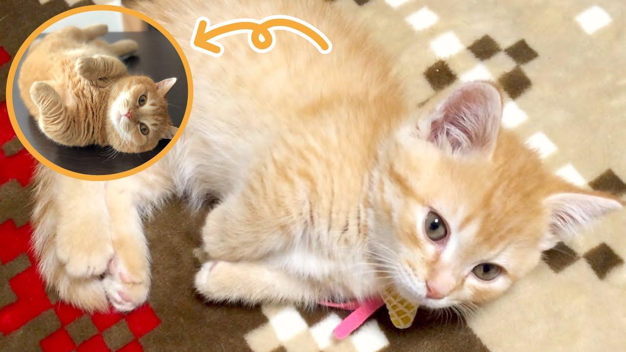 生後約50日の短足マンチカンの子猫時代が可愛すぎるから見てほしい!