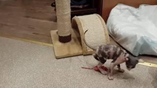 Котята породы канадский сфинкс. 2 месяца