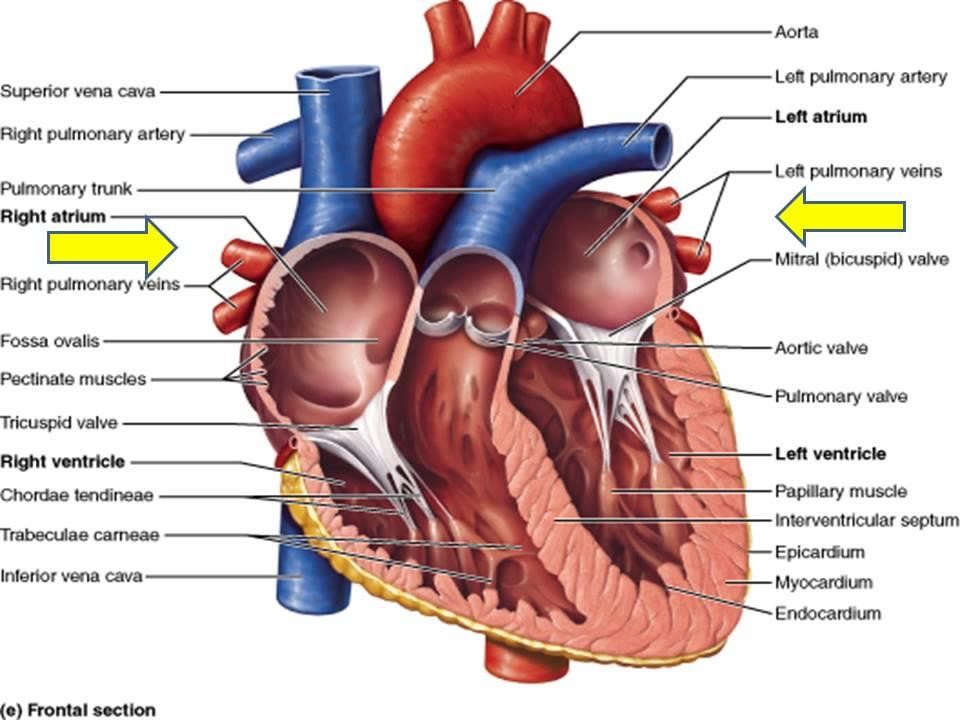 Realistic Heart Diagram Hydro Flame Furnace Wiring Human The Presentation 10 04 2015 Youtube