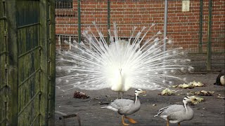 Weißer Pfau erschrickt - White Peacock becomes frightened