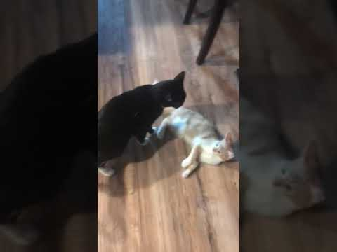 2 cats fighting with each other!!🐈 vs 🐈