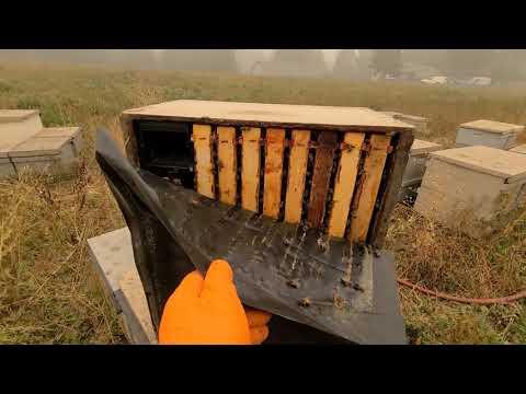 Вопрос: Что характерно для кубанской желтой пчелы?