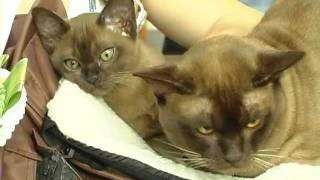 Бурманская порода кошек . Все О Домашних Животных