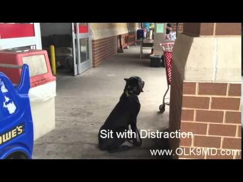 'Kane' 6 month old Corso, Basic obedience dog training; Off Leash K9 Training, Maryland