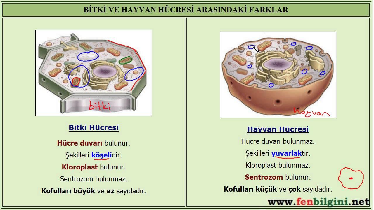 Hayvan ve Bitki Hücrelerine Genel Bakış (Biyoloji / Hücrenin Yapısı)