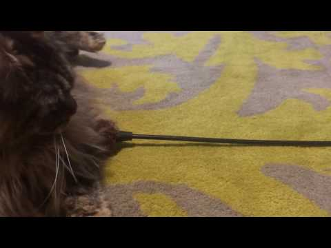 Maine Coon Cat Playing