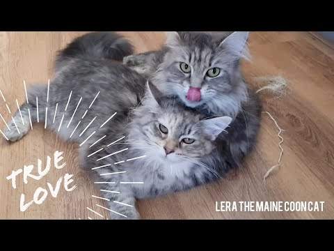 Maine coon love | even after seven months mother still washes her kitten every day