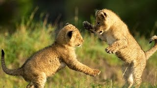 Cute LION CUBS Playing (HD) [Funny Pets]