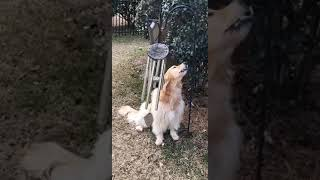 Dog sings her heart out to wind chimes.