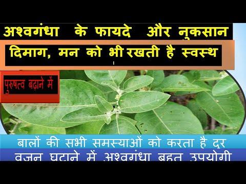 अश्वगंधा का पौधा, पहचान, गुण ,फायदे,  उपयोग