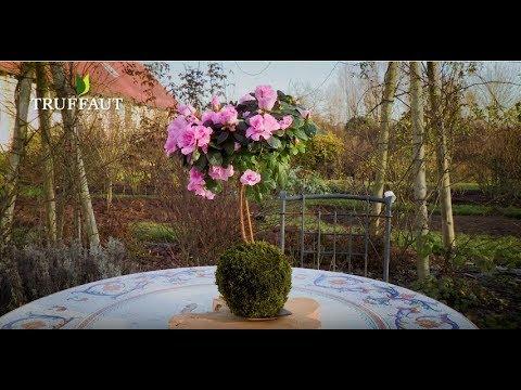 diy comment faire une azal e en kokedama jardinerie truffaut tv youtube. Black Bedroom Furniture Sets. Home Design Ideas