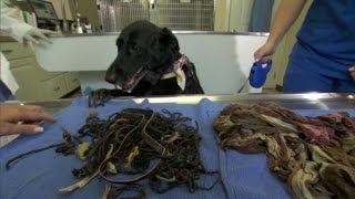 Dog Survives After Eating 62 Hair Ties, 8 Pairs of Underwear