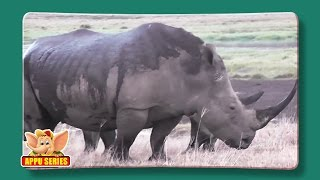 Rhinoceros - Fun Facts