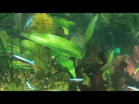 Растение загадка Криптокарина Розанервиг