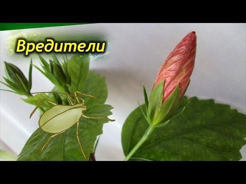 Вредители Китайской розы. Как бороться с вредителями Гибискуса.
