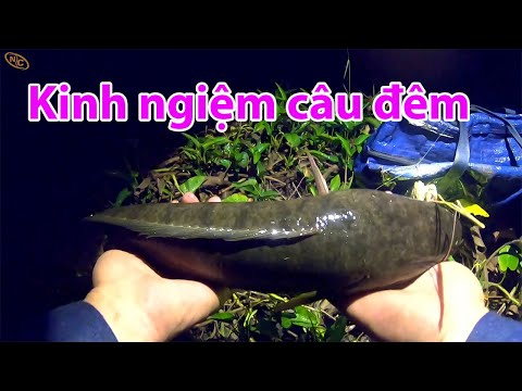 Kinh nghiệm câu cá lóc ban đêm bằng mồi nhái thật| Nguyen Chanh Vlogs