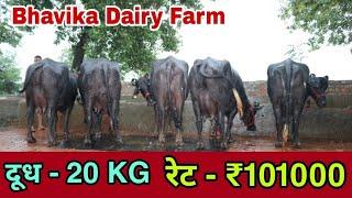 9992611553📞गुजरात के ग्राहकों ने खरीदी ऑनलाइन 9 भैंस 🌹🌹 Milk-20 Lt, Rate-₹ 101000. Bhavika Dairy