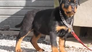 Rottweiler Cuccioli Pretty Roccia Nera Leo Messi X Xira