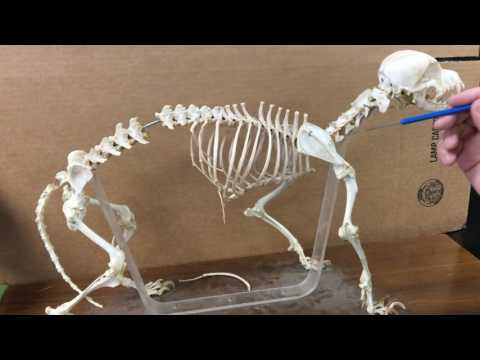 Dog skeletal anatomy
