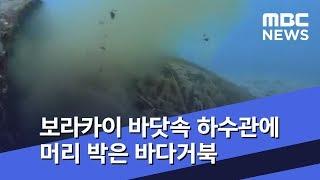[뉴스터치] 보라카이 바닷속 하수관에 머리 박은 바다거…