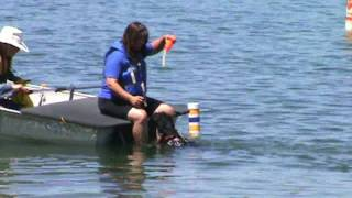 Barley the PWD at the Water Trial ~ Working Water Dog Level