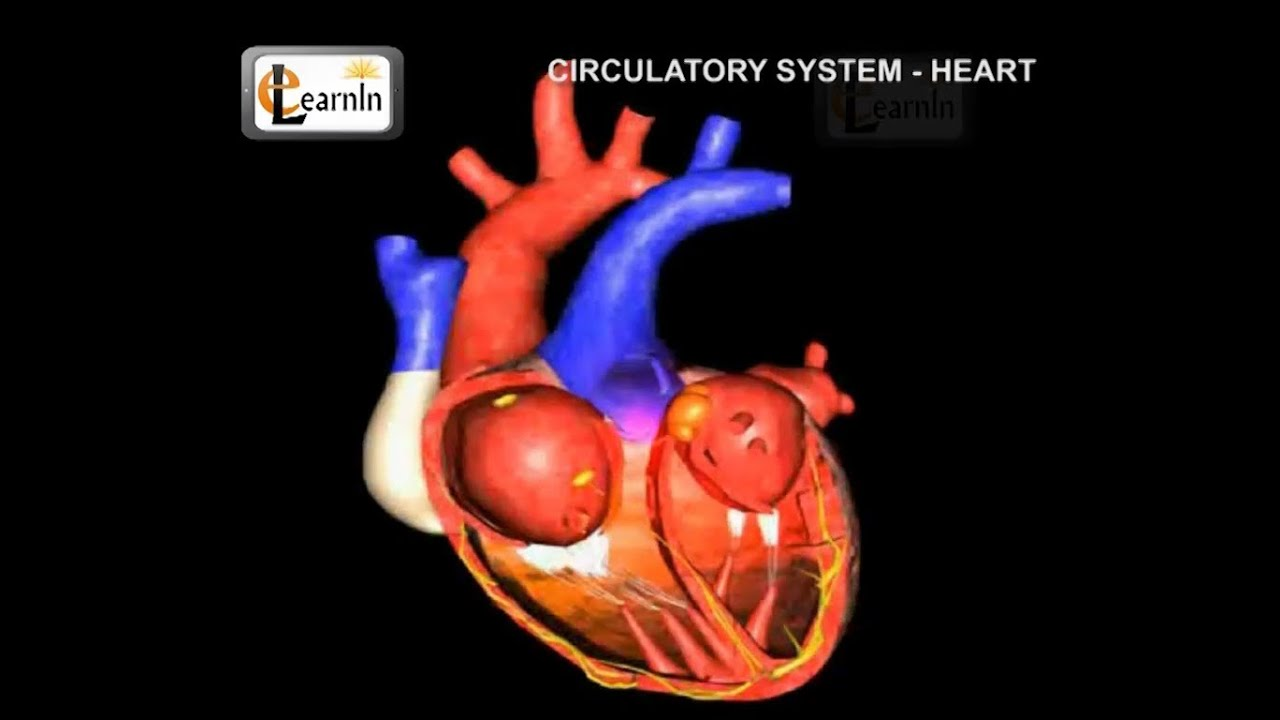 Human Circulatory System Heart Working Human Anatomy And
