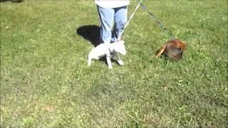 Pups For Mid-atlantic German Shepherd Rescue