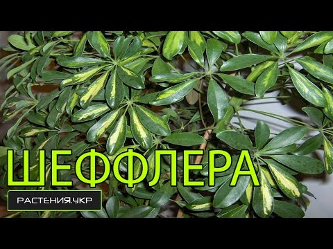 Домашние растения / уход за шефлерой