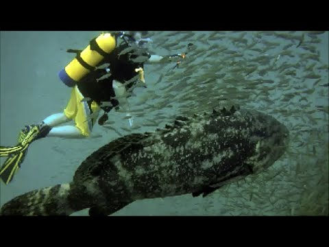 Goliath Grouper Spawning Season, West Palm Beach, The Corridor