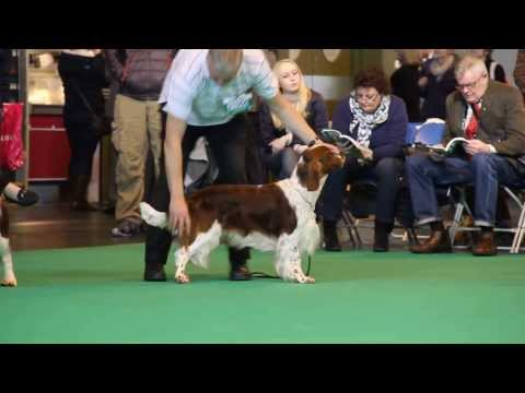 Crufts 2014 Welsh Springer Spaniel Best dog - part one.