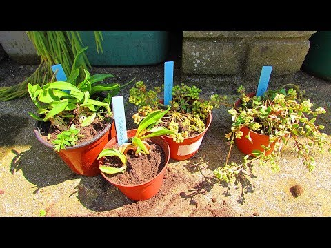 Planting the Succulent Plant cuttings we got from the Giant's Causeway, N. Ireland