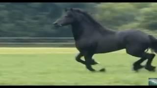 my video17 Фризская лошадь