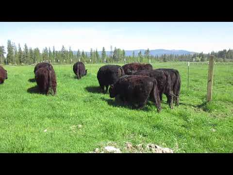 American Galloway Breeders Association