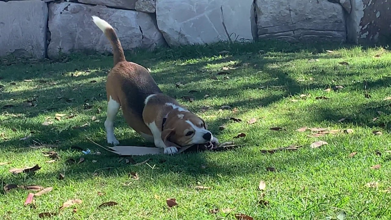 Cute Puppy Beagle Playing in the Backyard