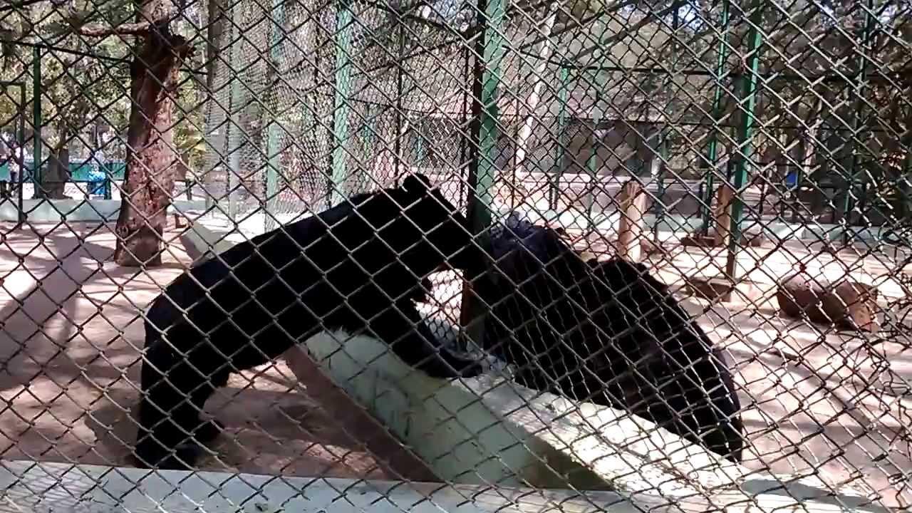 Sun Bear in Zoo - YouTube