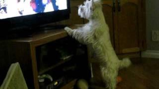 Westie Puppy Watching Tv