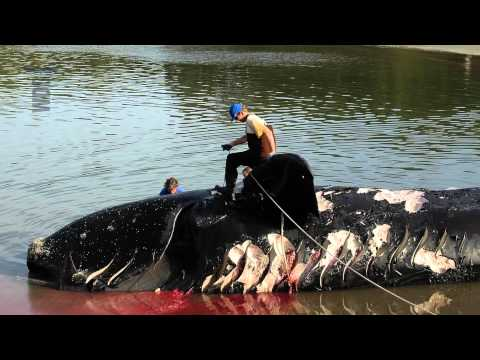Act right now! Save the North Atlantic Right Whale - Short