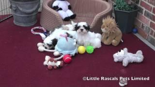 Little Rascals Shih Tzu Puppies