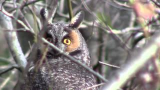 Long Eared Owl - West Marin, CA 2012 Christmas Bird Count - Josiah Clark Naturalist