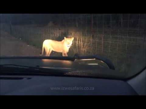 Lioness on N4 Highway