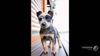 Queensland Heeler Dog Breed