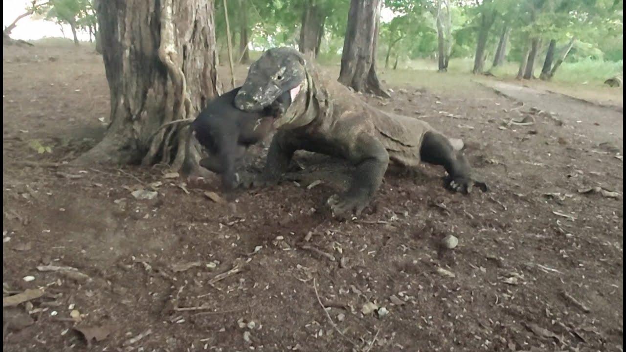 Again   komodo dragon swallows  a small wild boar
