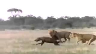Охота львов на гиен.
