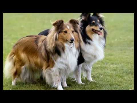 animals Shetland Sheepdog Dog
