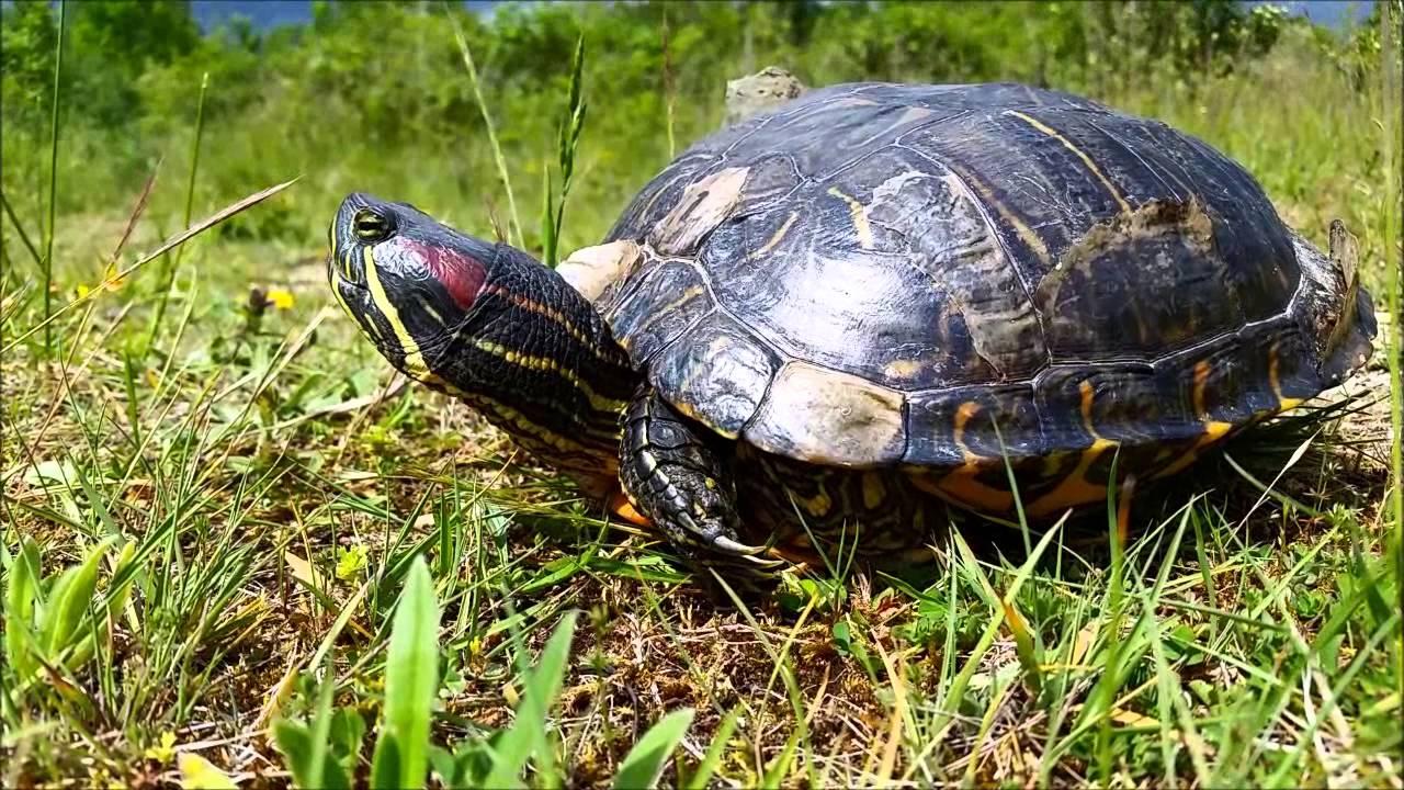 Tortue de floride rachemys scripta elegans esp ce for Bassin exterieur pour tortue de floride