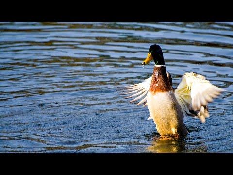 Random Videos From My Phone - 1: Duck Society
